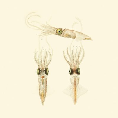 Vintage Cephalopods 04 SQ